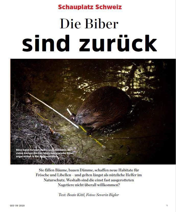 Jetzt am Kiosk: «Die Biber sind zurück» in GEO Schauplatz Schweiz